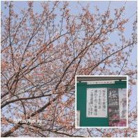 八ヶ崎の桜