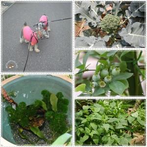 パセ&ポプ散歩と庭
