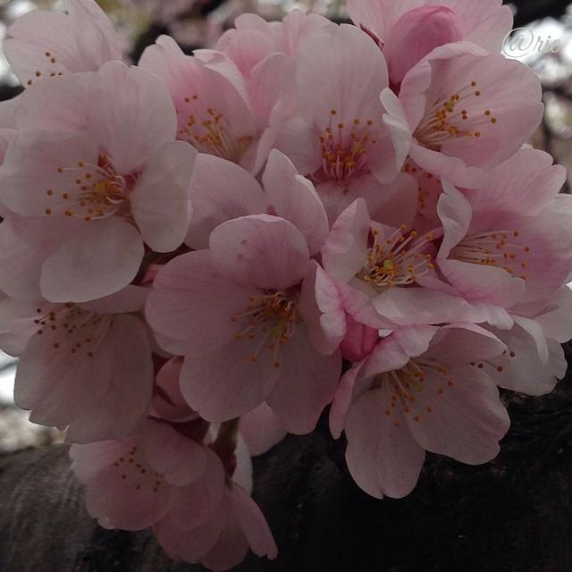 桜ぎゅうぎゅう