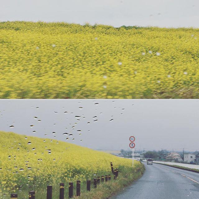 雨でも、目が醒めるような黄色の絨毯♪