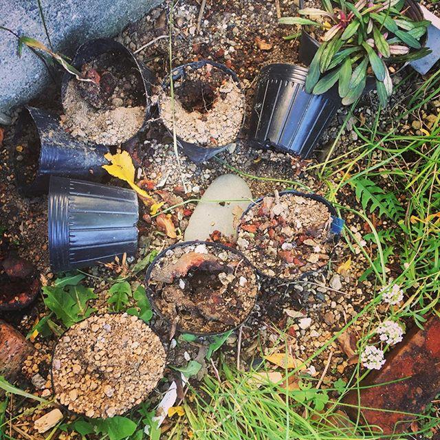 落ちてしまったザクロをポットに埋めておいたら、全部掘り返され食べられてました。大きめの鉢のものも…。誰のしわざ? 猫はウロウロしてたことあったけど…