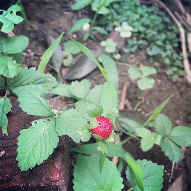 久しぶりの庭風景。今朝、友美さんから頂いたイチゴがなってました!赤が映えてとても可愛い️他の子たちも…と思ったのですが、足元にイラガの毛虫発見️慌てて室内に逃げ込んでしまいました。追いかけられるわけじゃないのに(^_^;でも庭に出るのが怖い。植え替えとかもしないといけないのに…。困った。しばらくドキドキ、キョロキョロの不審者になりそうです。